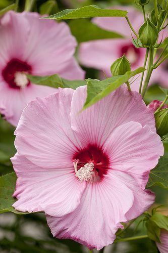 Hibiscus 'Fantasia' in the Home Gardening Center.