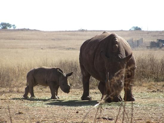 Krugersdorp Nature Reserve. There were no rhinos left there in 2011. Poachers had killed all five.