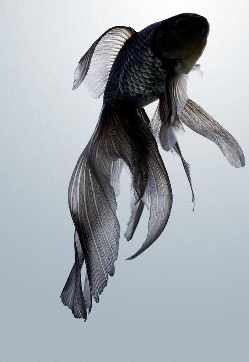 #Black: black goldfish. So beautiful. And just to be clear it is NOT a beta! Ok? For all you people out there who might mistake this fish for a beta its a black goldfish. Thank you for your time.(: http://ift.tt/2odyWQb