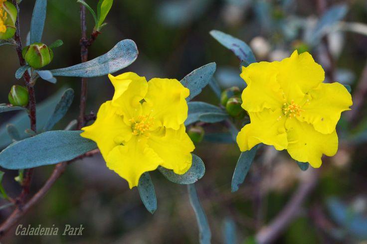 Guinea Flower - Caladenia Park, NSW, Australia