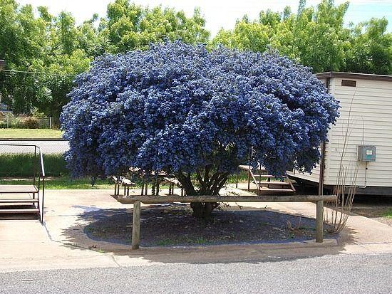 Výsledky obrázků Google pro http://images.travelpod.com/users/flexitdriver/3.1255605605.pacific-blue-tree-yass-nsw.jpg