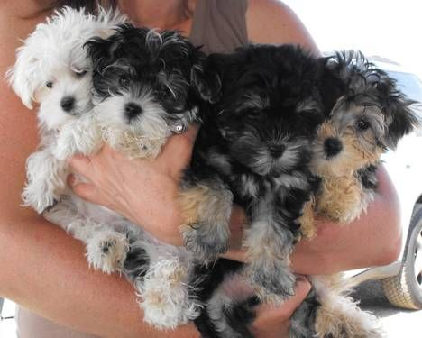 Morkie Puppies! My rolls looked just like the lil black end one when he was a pup