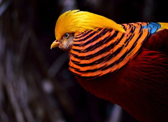 Burung Golden Pheasant (TheMysteriousWorld)