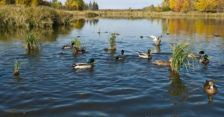 Factores limitantes del bioma de agua dulce . Un bioma es una amplia zona regional de comunidades similares que se caracterizan por un tipo de planta dominante y su estructura vegetativa. Tradicionalmente, los biomas se han utilizado para describir grandes regiones geográficas contiguas, tales como desiertos, praderas, bosques y tundras. Sin embargo, muchos investigadores también incluyen ...