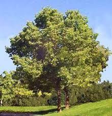 Résultats de recherche d'images pour «micocoulier arbre»