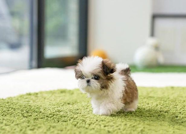 Teacup Shih Tzu For Affordable