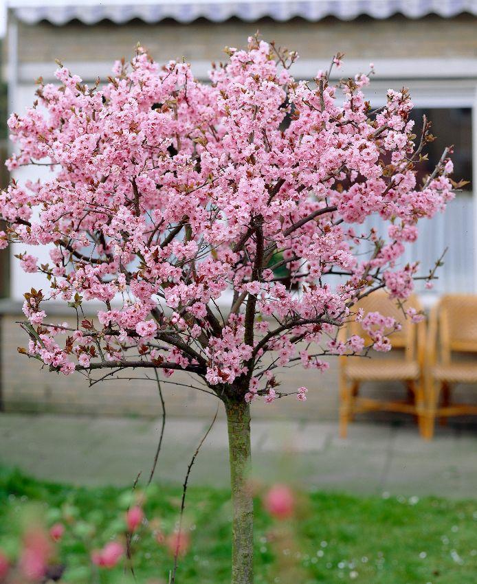 Mooie boom!  winterbloeiend jan, febr, maart: Sierkers : prunus subhirtela