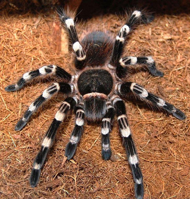 Giant White Knee Tarantula Pet spider, Pet tarantula, Spider