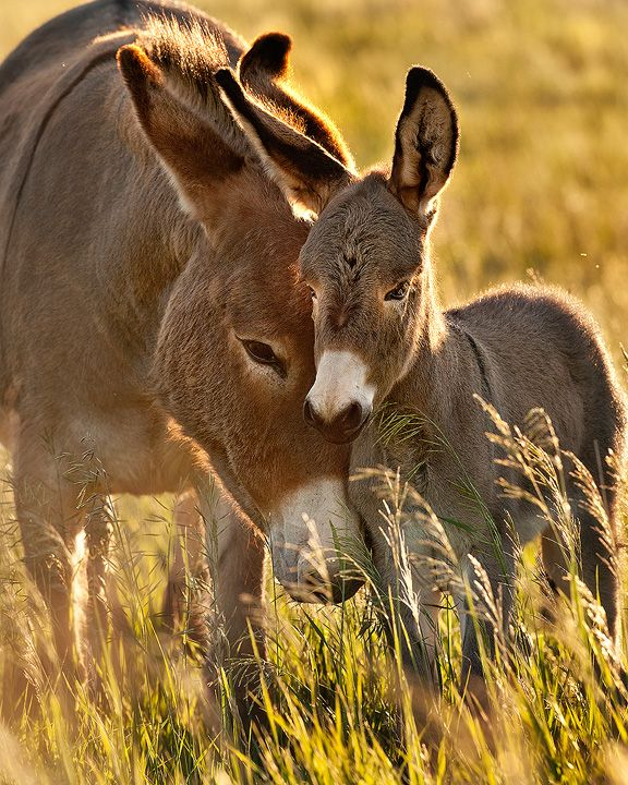 Wild Burros - Mother And Foal in Custer State Park, South Dakota.