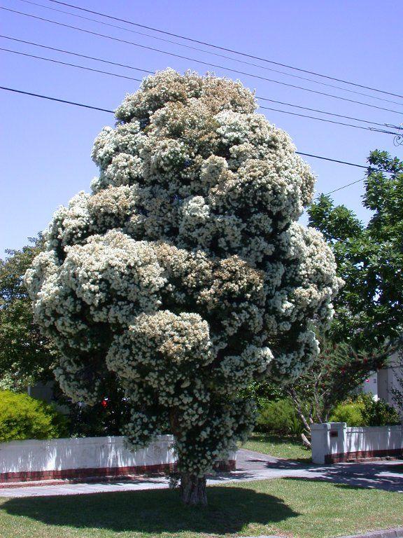 https://flic.kr/p/92dJN6   Melaleuca-0767   Photos of Melaleuca linariifolia for a journal at Myfolia