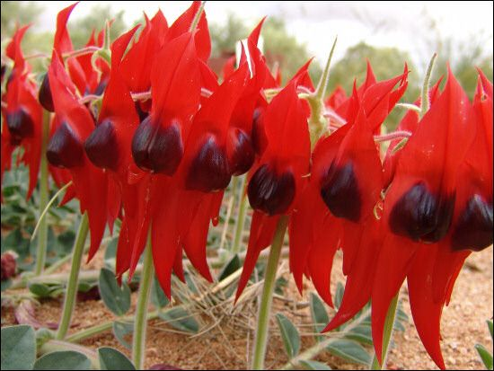 Australian wild flowers Sturt's Desert Pea (Swainsona formosa) / Spectacular Flower of Blood / Named after Captain Charles Sturt to commemorate his explorations of inland Australia. / A creeping vine that runs along the ground and the most spectacular of all desert flowers. / The floral emblem of South Australia.