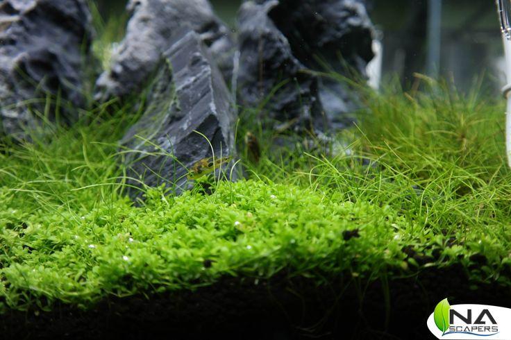 Detalle de acuario con tetraodon travancoricus.  Tank detail with tetraodon travancoricus.