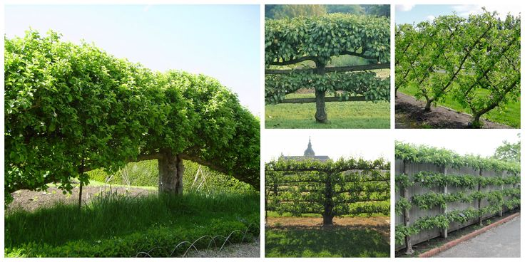 Pomi fructiferi cu coroane interesante