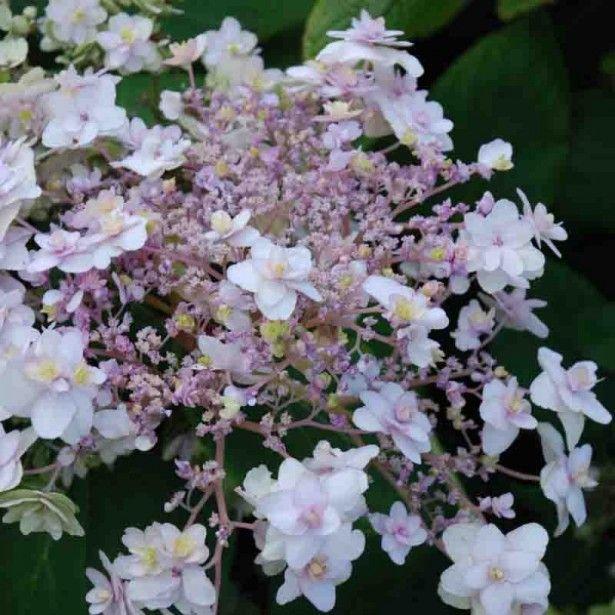 Hortensia+-+Hydrangea+involu.Yoraku+Tama  Floraison rose pâle  Exposition mi-ombre, ombre  Fleurit en Aout à Septembre  Hauteur à maturité: 120 cm