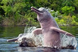Entre las especies curiosas del mundo, existe el delfín rosado del Amazonas, el delfín más romántico por su color generalmente relacionado al amor y la feminidad. son considerados la especie más inteligente de delfines de agua dulce. Además, es la especie con mayor peligro de extinción dentro de estos mamíferos del agua.