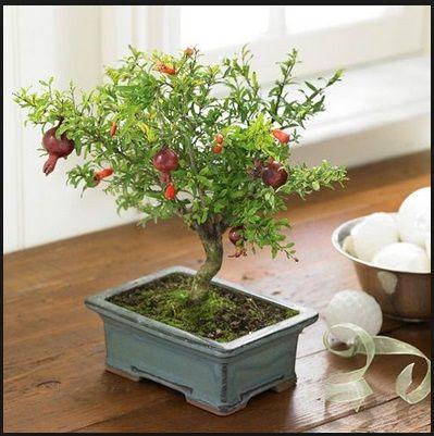 buah bonsai murbei