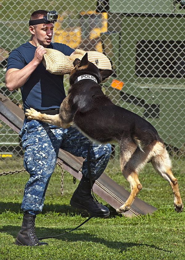 Military police working dog Jimmy attacks Master-at-Arms 2nd Class William Bryan during controlled aggression training exercises at Joint Base Pearl Harbor-Hickam, April 10. MWDs are used to apprehend suspects and to detect explosives and narcotics while searching buildings, ships and submarines.
