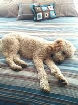 golden doodle dogs - Google Search