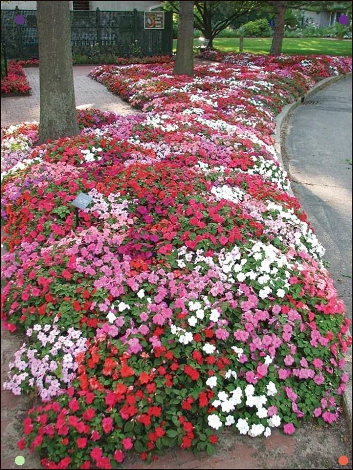 Impatiens Wonderful Color For The Shade Impatiens Flowers Flower Garden Plants
