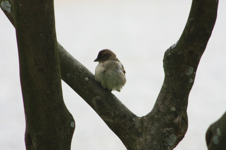 Pássaro numa árvore de um parque central. Espinho 2011