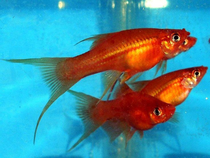 TANGERINE SWORDTAIL. Swordtail fish are averagesize fish
