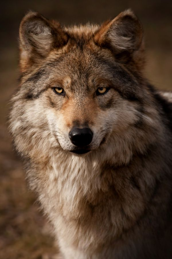 Mexican Gray Wolf - Stunning Beauty And YES, His Eyes Are Looking At YOU !!! <3