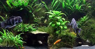 tropheus tank ile ilgili görsel sonucu