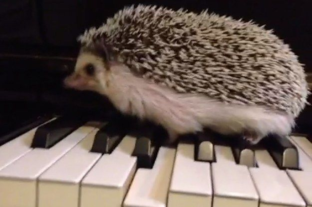 This Vine Proves That Hedgehogs Are Musical Geniuses; this hedgehog plays the piano better than I do.