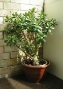 Jade plant care and propogation