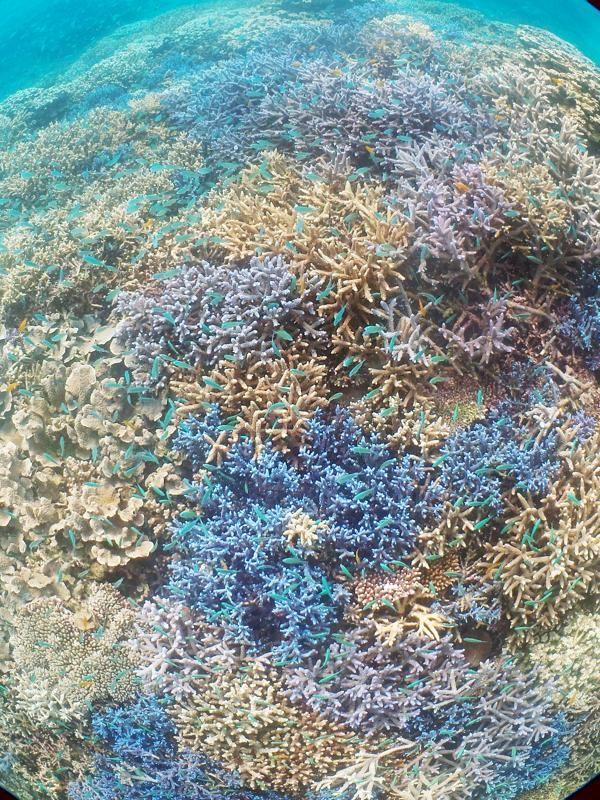 青と白がおりなすサンゴ礁/石垣島ダイビングショップ Fun Sea 石垣島|あそびゅー!シュノーケリング