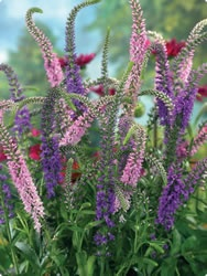 pink and lilac veronica: Gardens Ideas, Gardens Flowers, I Would Like To, Arrangements Gardens, Lilacs Veronica, Flowers Arrangements, Cut Gardens, Giardino Che, Gardens Plans