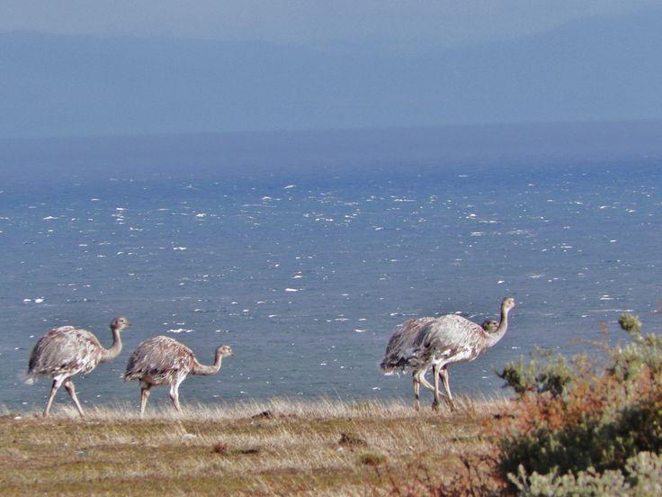 Ñandu , patagonia