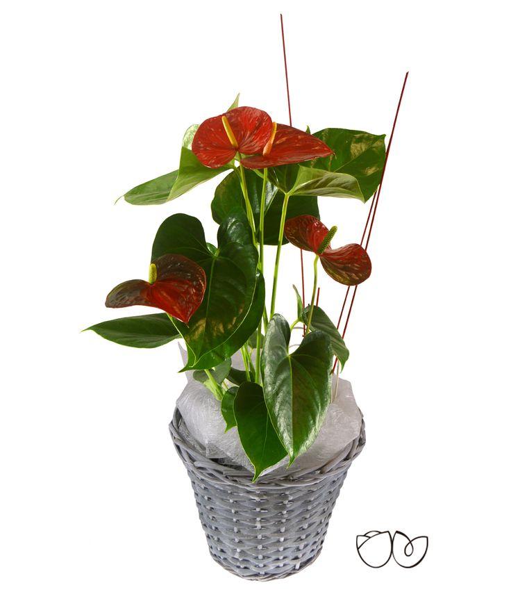 *Planta Anthurium* Con esta bonita planta decorativa de interior de Anthurium, llamativa por sus grandes hojas en forma de corazón, decolor rojo,puedes tener un detalle preciosocon una persona especial.