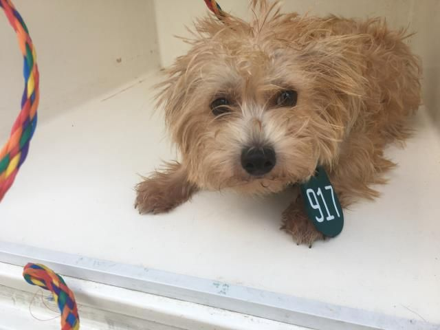 ANIKA - ID#A469504 - URGENT - Harris County Animal Shelter in Houston, Texas - ADOPT OR FOSTER - 1 year old Female Maltese - at the shelter since Oct 03, 2016.
