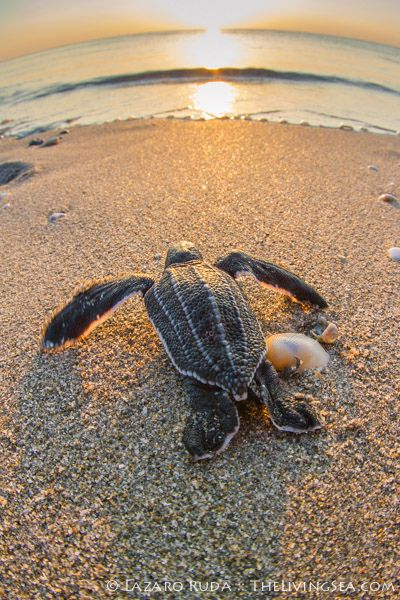 Baby leatherback sea turtle. Would love to watch the hatchlings.
