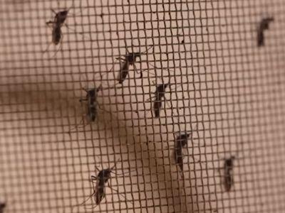 To εργοστάσιο κουνουπιών της Κίνας