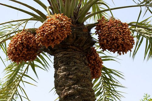 Loss of Weight Fruits – Dates