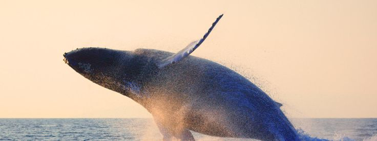 Whale: Endangered, population varies by species. As few as 300 North Atlantic right whales, other species 10,000 to 90,000