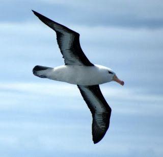 Littérature-et-Commentaires: L'Albatros de Baudelaire : commentaire littéraire