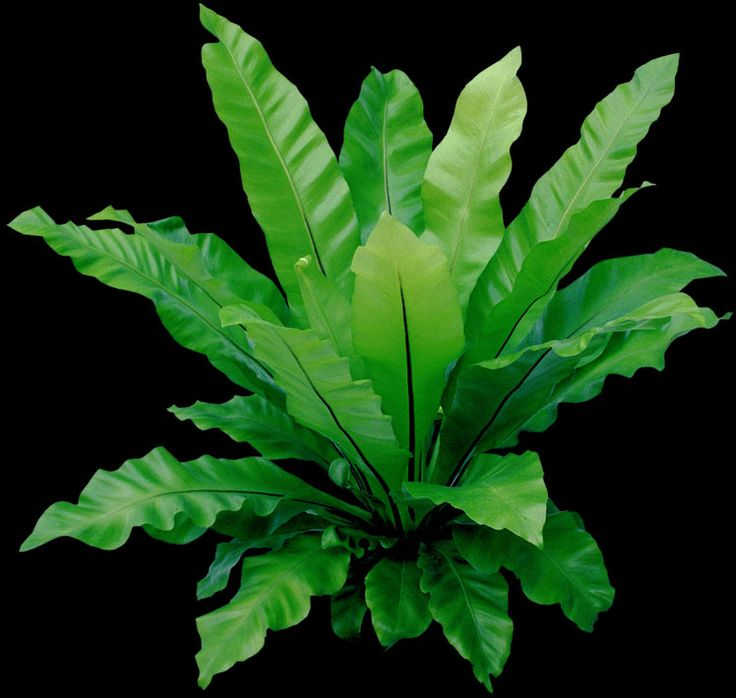 birds nest fern houseplants with long leathery leaves look nothing like a usual - House Plant Identification Guide By Picture