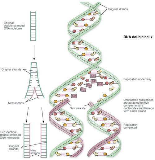 11 best dna number 11 images on Pinterest Anatomy, Double helix - new molecular blueprint definition