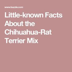 Little-known Facts About the Chihuahua-Rat Terrier Mix