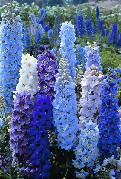 Delphinium . . . this is SO lovely. -plan for outside kitchen window a blue and white bed