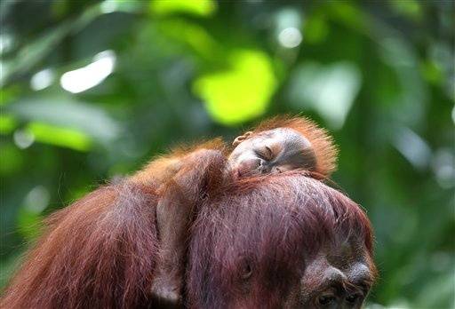 One month-old endangered Bornean Orang Utan sleeps on his mother named Miri on Wednesday, March 6, 2013, in Singapore. The Singapore Zoo is renowned for its flagship animal, the Orang Utan, and exhibits both the endangered Bornean and critically endangered Sumatran sub-species in a social setting. It is also known for its efforts in promoting and educating the public about the importance of wildlife conservation through its educational programs and breeding of these endangered species. (AP…