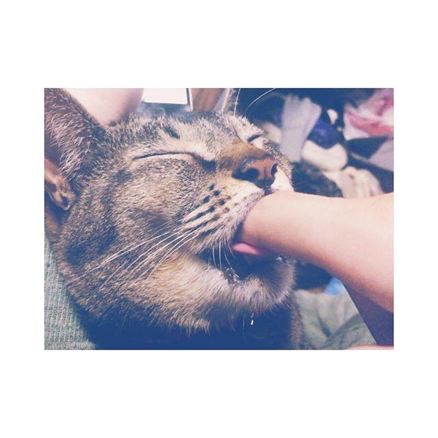 * * * ぶさいくな顔で指吸う👆🏼🐱 #ぶさいく #不細工 #指 #吸う #猫 #おしゃぶり #昔から #あんこ #アビシニアン #バーミーズ #茶猫 #愛猫 #可愛い * * *