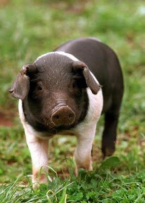 farm hog vs mini pig The guinea hog is a very friendly and adaptable pig they are, for the most part, black, with a few pigs having white on the feet and hints of red or gray on the coat they have thick full coats, curly tails, and erect ears.
