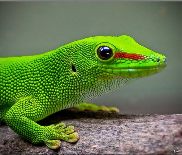 20 Most Colorful Lizards on Earth