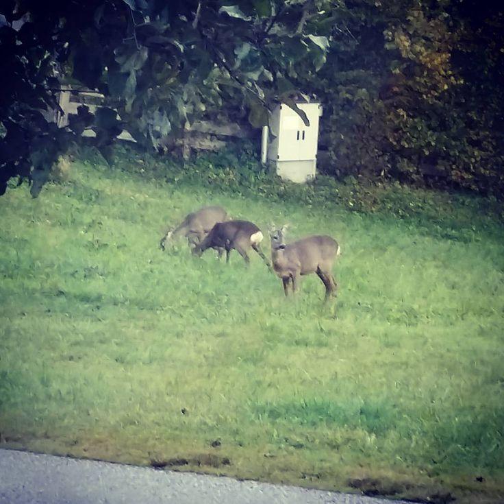 Streichelzoo vorm Haus  #frühstück #bambi at his #breakfast