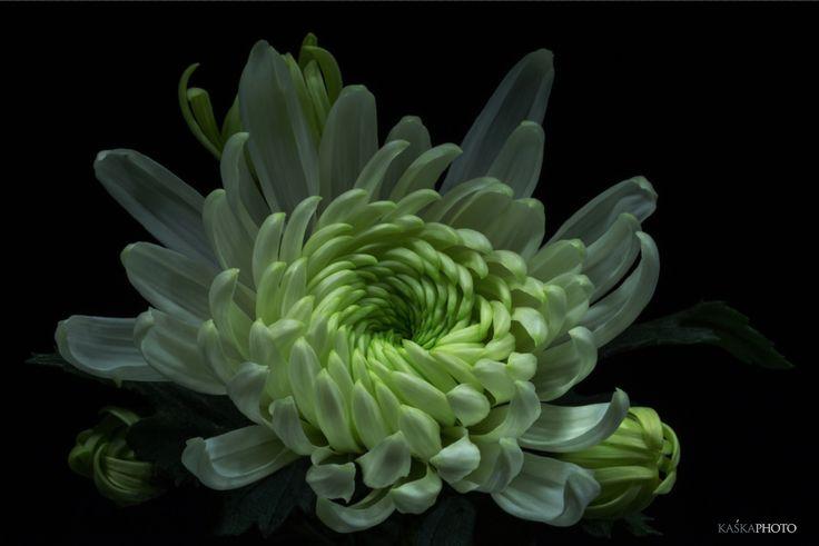 Kaska Photo » Studio flowers #chryzantema  #chrysanthemum #studio  #studiolife   #photography #fowers #Sikora #KaśkaSikora #projektanciewnętrz #lifestyle #homedesign  #decoration   #interiordesign  #Decor  #art #gallery #homedesign #homedecor #design #posters  #pictures #macro #photography #KatarzynaSikora