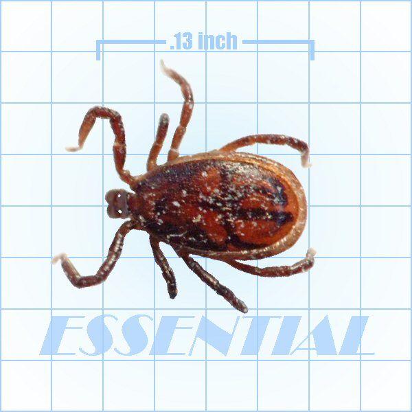 Brown Dog Tick pest ID slide